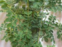 """""""Moringa Oelivera"""" Di Eropa dan Amerika sedang happening sekali disebutnya Miracle Tree"""